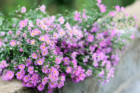 hoa thạch thảo đẹp