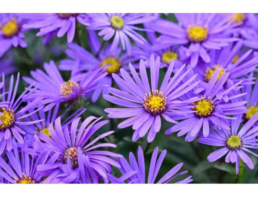 hoa thạch thảo đẹp 2