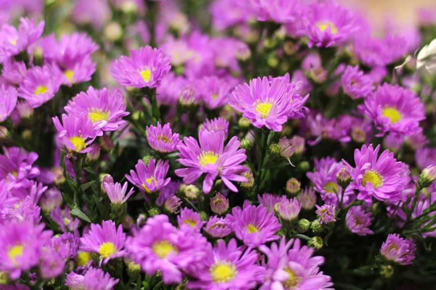 hoa thạch thảo đẹp `1