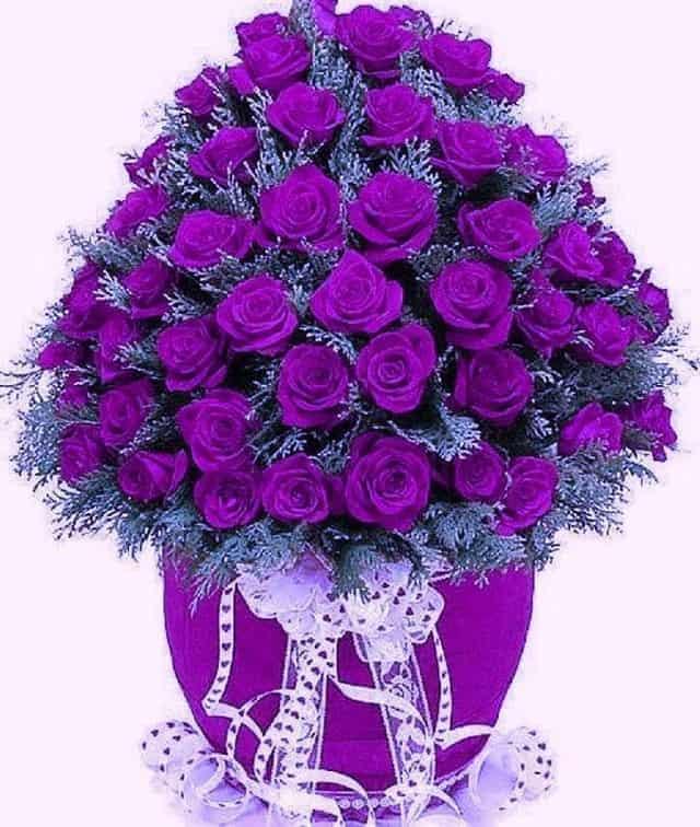 hoa hồng tím sinh nhật