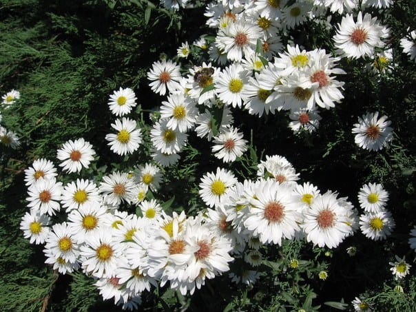 hoa thạch thảo tím 1
