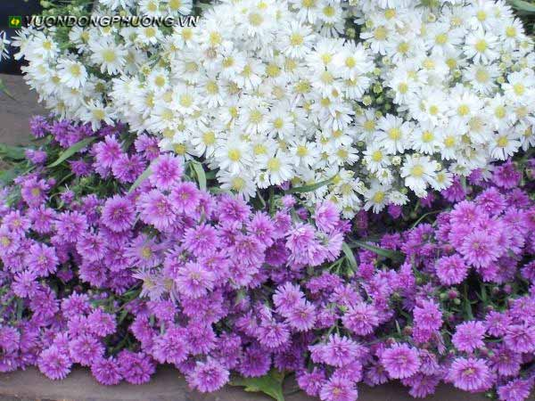 hoa thạch thảo tím 2