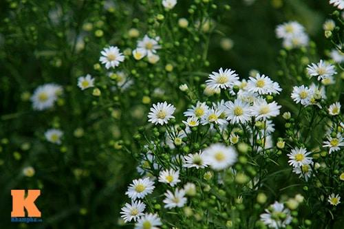 hoa thạch thảo tím 3