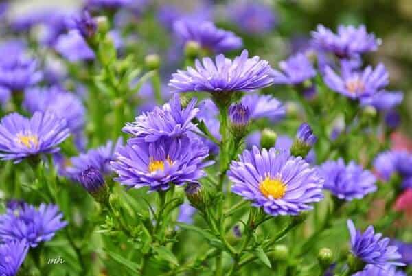 hoa thạch thảo đẹp 3