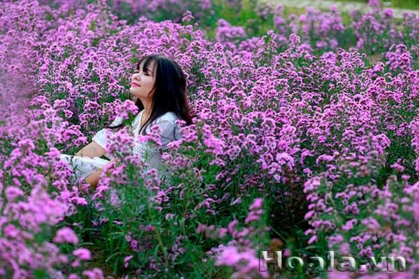hoa thạch thảo tím 4