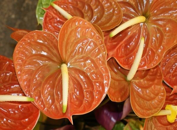 hoa hong mon mau nau