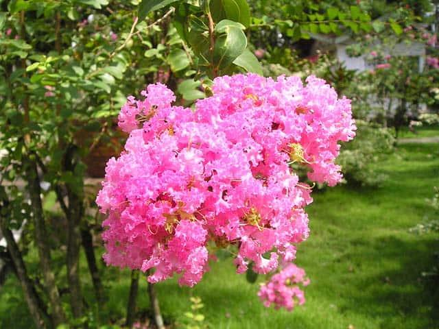hình ảnh đẹp hoa tường vi 7
