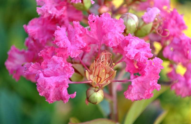 hình ảnh đẹp hoa tường vi 8