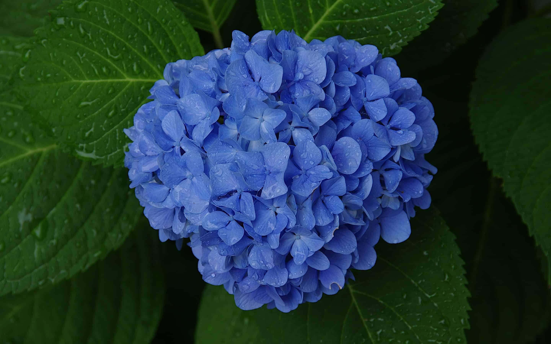 Ý nghĩa hoa cẩm tú cầu