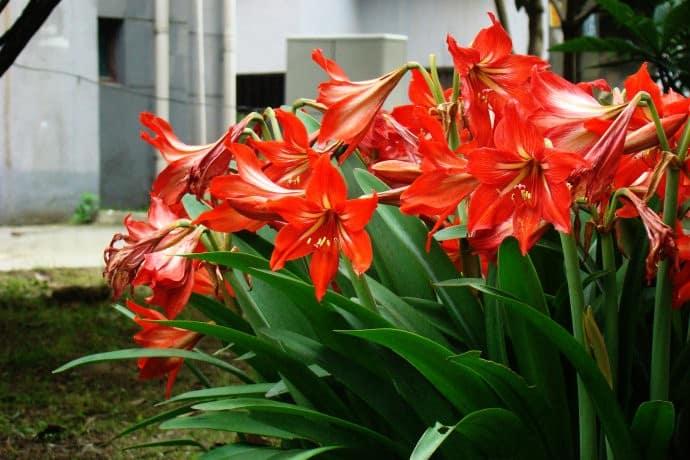 hoa loa kèn đỏ 1