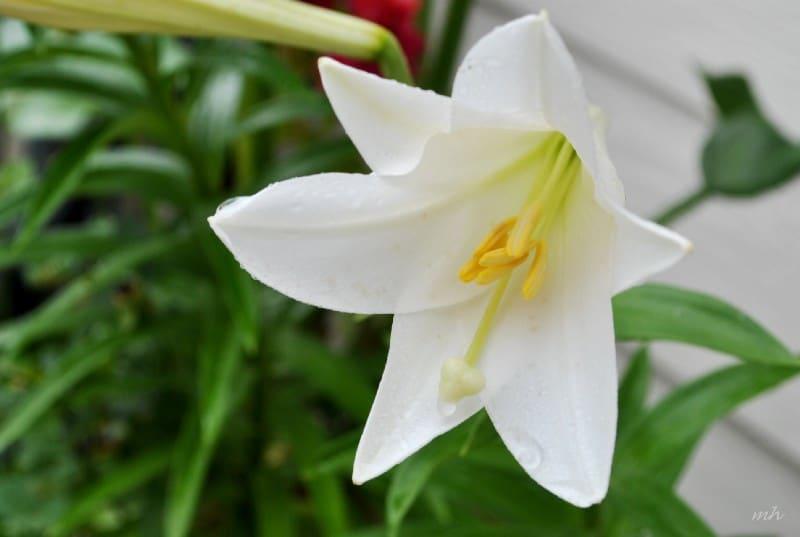 hoa loa ken trang 1