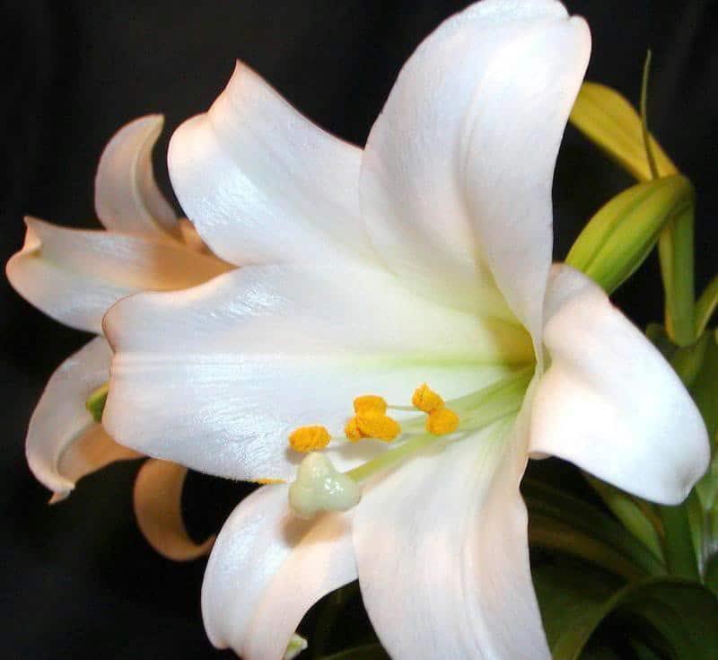hoa loa ken trang 2
