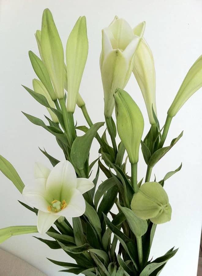 hoa loa ken trang