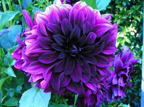 ảnh đẹp hoa thước dược 3