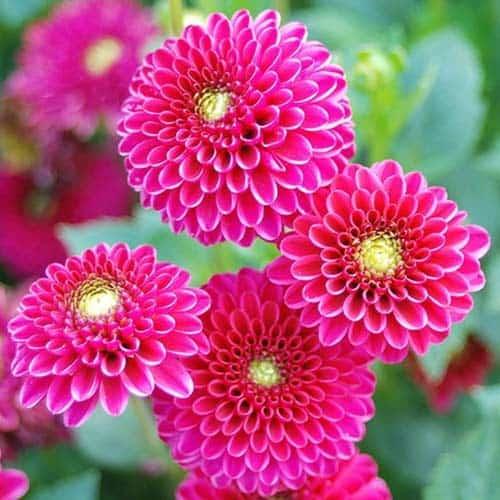 ảnh đẹp hoa thước dược 2