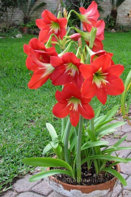 hoa loa kèn đỏ 3