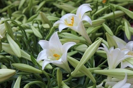hoa loa kèn trắng 4