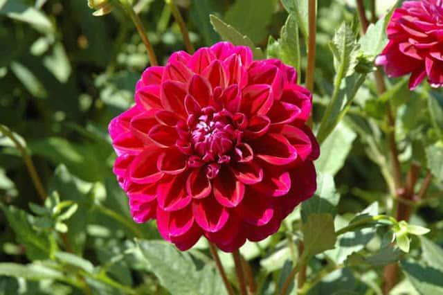 ảnh đẹp hoa thước dược 1
