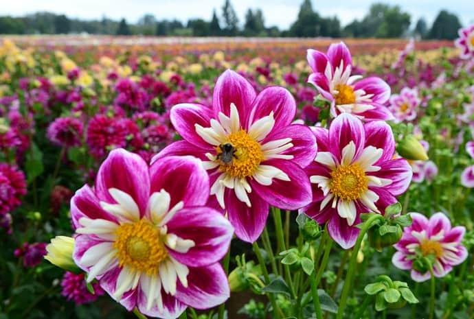 ảnh đẹp hoa thước dược