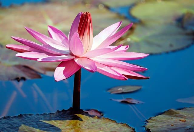 hinh anh dep hoa sung 2