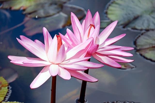 hinh anh dep hoa sung 3