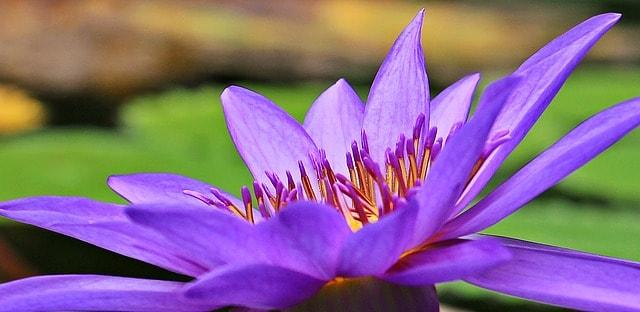 hinh anh dep hoa sung 4