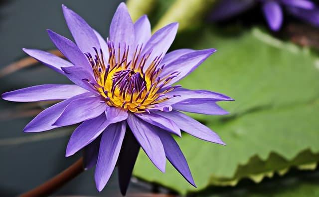 hinh anh dep hoa sung 6