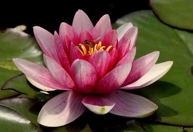 hinh anh hoa sung dep nhat 2