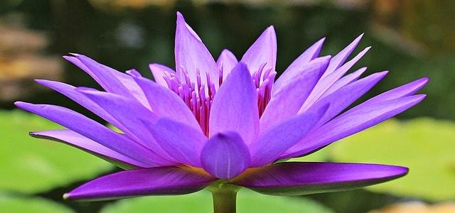 hinh anh hoa sung dep nhat 4