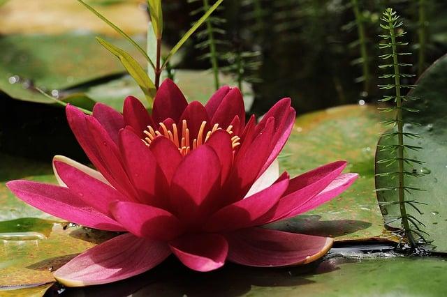hinh anh dep hoa sung 1