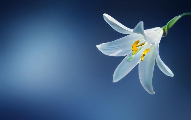 y nghia hoa lily