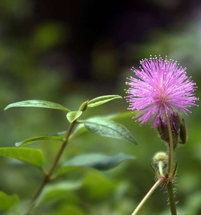 hoa mimosa mau tim