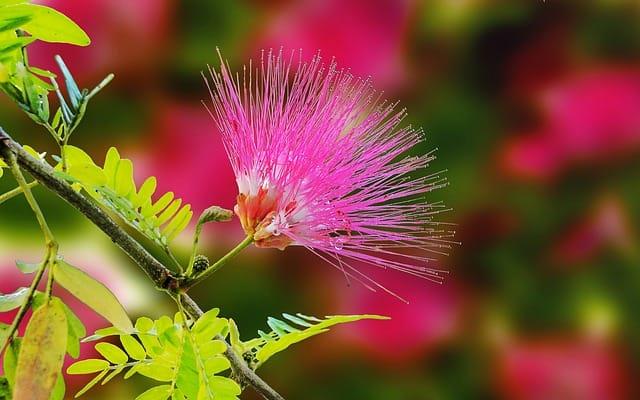 bong hoa mimosa