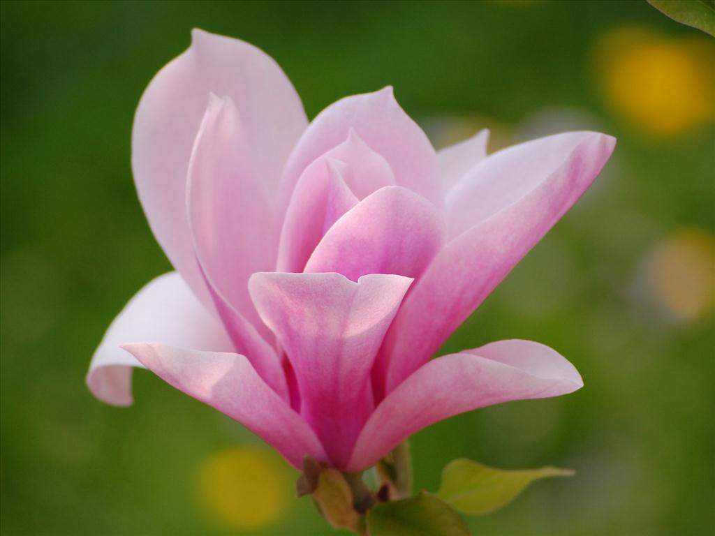 hoa moc lan hong