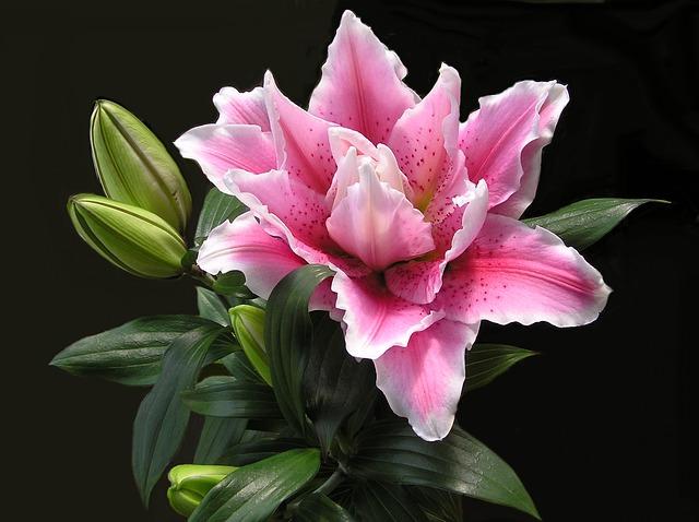 hoa lily kép đẹp nhất thế giới