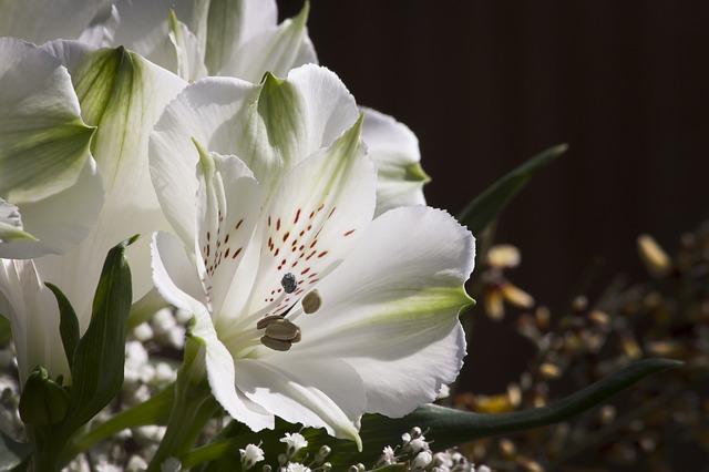 hoa lily peru dep