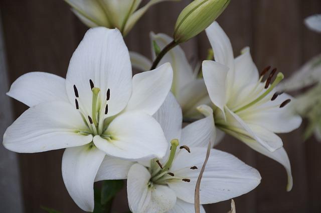 hoa ly trang de thuong