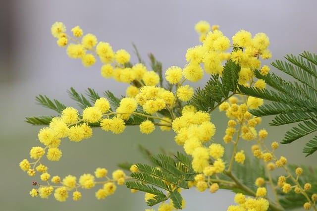 hoa mimosa mau vang