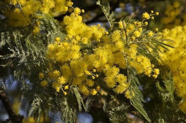 mimosa dep