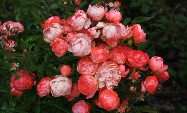 Hình ảnh hoa hồng bayby đẹp