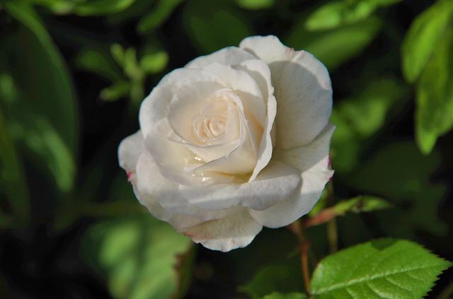 hoa hồng trắng đẹp