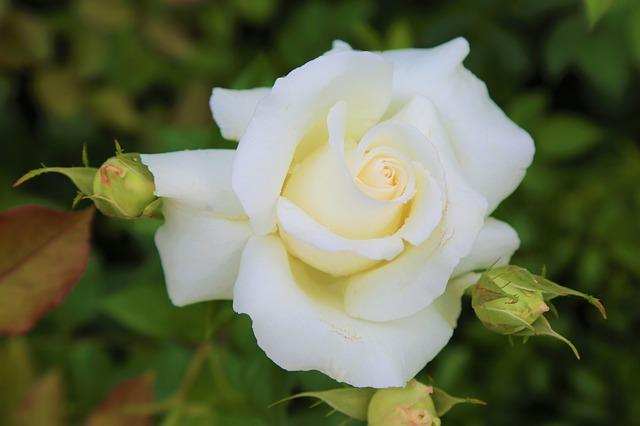 anh hoa hong trang dep
