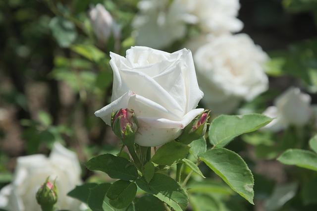 hinh hoa hong trang dep