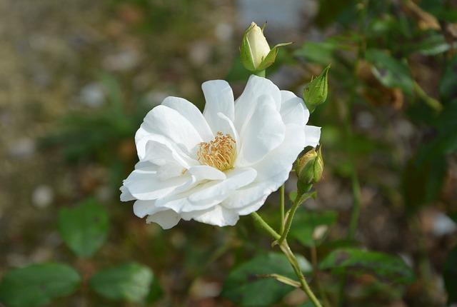 ảnh đpẹ hoa hồng trắng