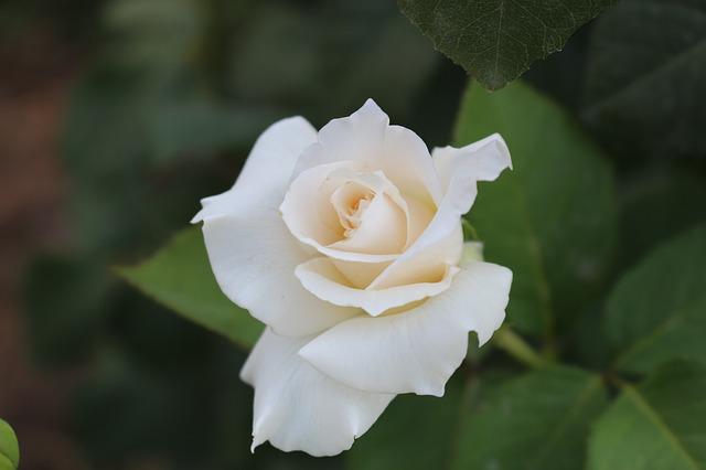 hoa hong trang dep va y nghia