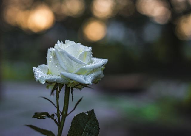 hoa hồng bạch đẹp