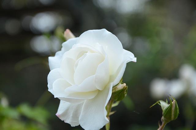 y nghia hoa hong trang trong tinh yeu