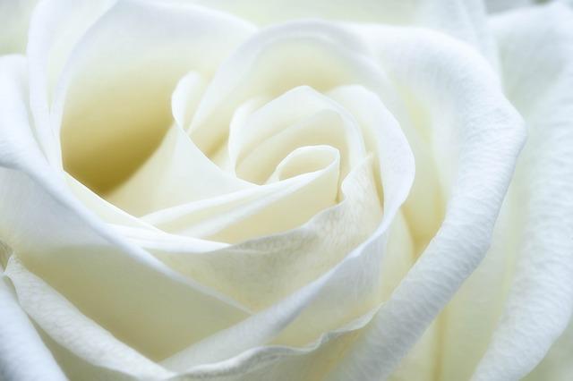 hoa hong trang y nghia