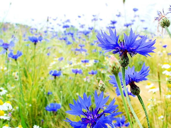 hoa nut ao xanh