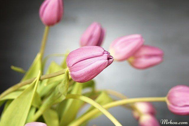 cau chuyen hoa tulip